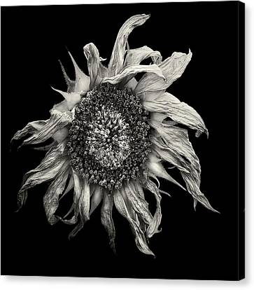 withered Sun  Canvas Print by Jaromir Hron