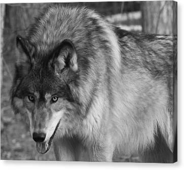 Wolf Stare Canvas Print by Kate Purdy
