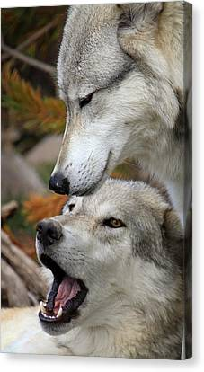 Canvas Print featuring the photograph Wolf Talk by Steve McKinzie
