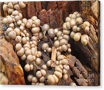 Wolf's Milk Slime Mould Canvas Print by Timothy Myles