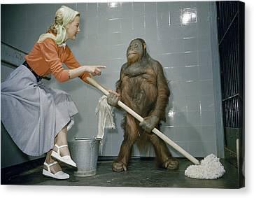 Woman Communicates With Orangutan Canvas Print by B. A. Stewart And David S. Boyer