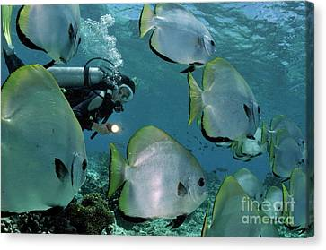Woman Diving With School Of Batfish Canvas Print by Sami Sarkis