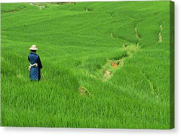Woman Looking Over Valley Of Rice Outside Sapa Canvas Print by David Greedy