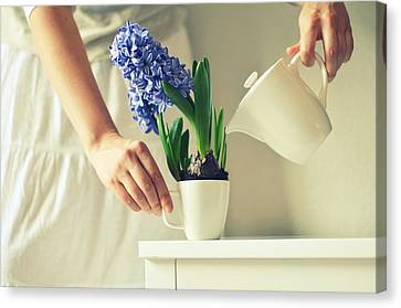 Woman Watering Blue Hyacinth Canvas Print by Photo by Ira Heuvelman-Dobrolyubova