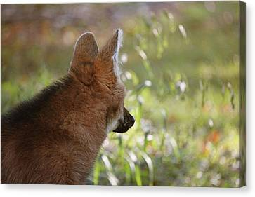 Wondering Wolf Canvas Print by Karol Livote
