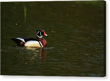 Canvas Print featuring the photograph Wood Duck by Josef Pittner