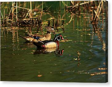 Canvas Print featuring the photograph Wood Duck Pair by Josef Pittner