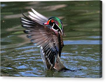 Wood Duck Stretch Canvas Print