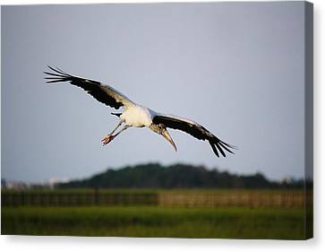 Wood Stork In Flight Canvas Print by Paulette Thomas