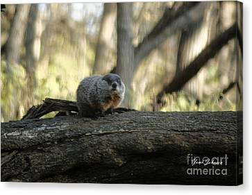 Canvas Print featuring the photograph Woodchuck by Yumi Johnson