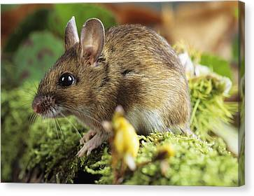 Woodmouse Canvas Print