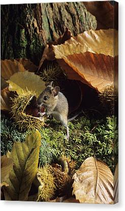 Woodmouse Eating A Chestnut Canvas Print
