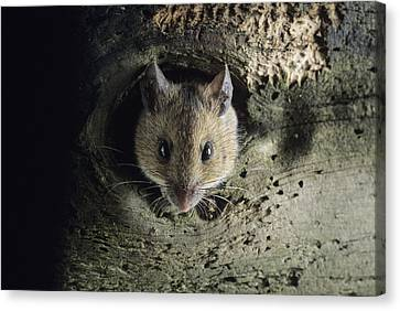 Woodmouse Emerging From A Rotten Tree Canvas Print