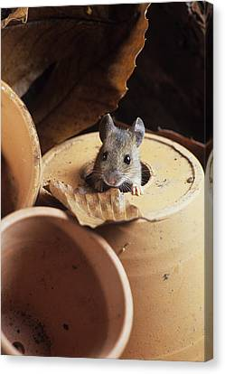 Woodmouse Peeering Out Of A Flowerpot Canvas Print