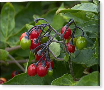 Woody Nightshade (solanum Dulcamara) Canvas Print by Adrian Bicker