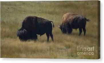 Wyoming Buffalo Canvas Print by Donna Greene