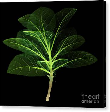 X-ray Of A Tobacco Canvas Print by Ted Kinsman