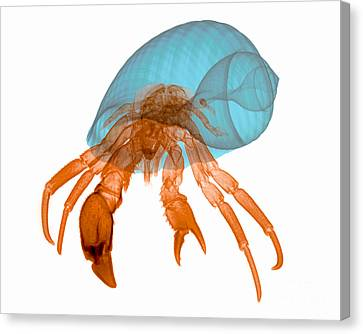 X-ray Of Hermit Crab Canvas Print by Ted Kinsman