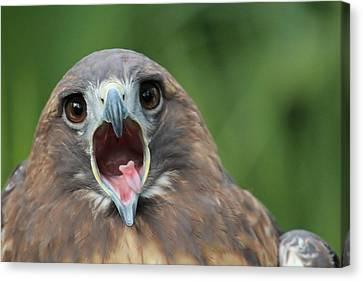 Yawning Hawk Canvas Print by Alexander Spahn