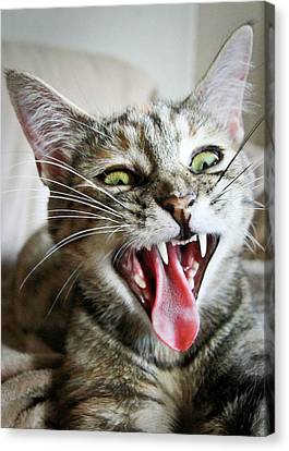 Yawning Kitty Canvas Print by Dan Dangler - Rochester, NY