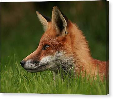 Yearling Fox Canvas Print by Jacqui Collett