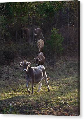 Cattle Run Canvas Print - Yearling On The Run by Douglas Barnett
