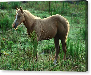 Yearling Palomino Chewing On A Stick - C0482c Canvas Print by Paul Lyndon Phillips