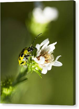 Yellow And Black Spotted Cucumber Beetle - Diabrotica Undecimpunctata Canvas Print by Kathy Clark