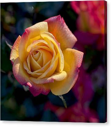 Yellow And Red Rose Canvas Print