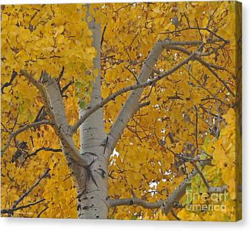 Yellow Aspen Autumn Tree Grand Teton National Park Canvas Print