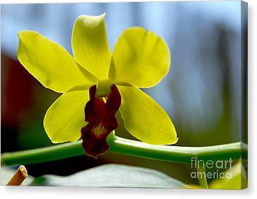 Yellow Beauty Canvas Print by Pravine Chester