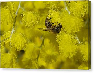 Yellow Bee Canvas Print by Serene Maisey
