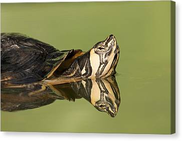 Yellow-bellied Slider Trachemys Scripta Canvas Print by Ingo Arndt