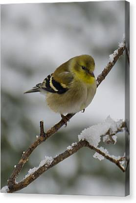Finch Canvas Print - Yellow Bird In Snow Tree by LeeAnn McLaneGoetz McLaneGoetzStudioLLCcom