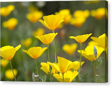 Yellow California Poppy Wildflowers Canvas Print