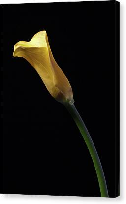 Yellow Calla Canvas Print by Nick  Shirghio