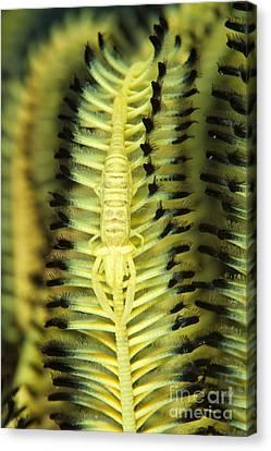 Yellow Commensal Shrimp On Crinoid Canvas Print by Steve Jones