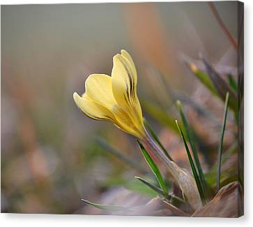 Yellow Crocus Canvas Print