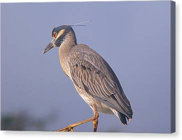 Canvas Print featuring the photograph Yellow Crowned Night Heron by Brian Wright