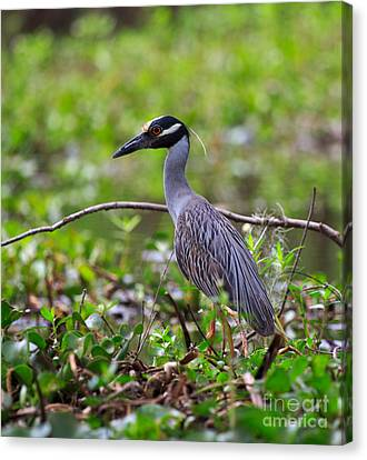 Yellow-crowned Night Heron Canvas Print by Louise Heusinkveld