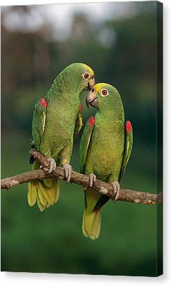 Yellow-crowned Parrot Amazona Canvas Print by Thomas Marent