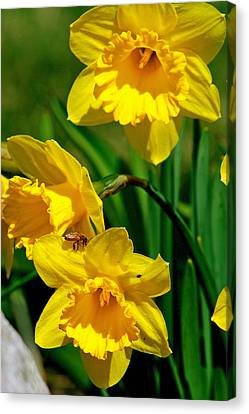 Canvas Print featuring the photograph Yellow Daffodils And Honeybee by Kay Novy