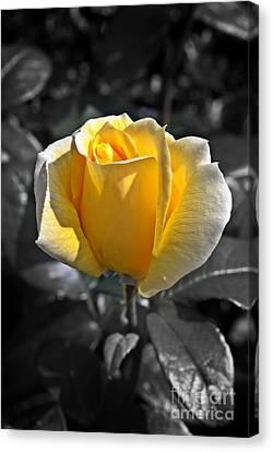 Yellow English Rose Vertical Canvas Print by Stephen Clarridge