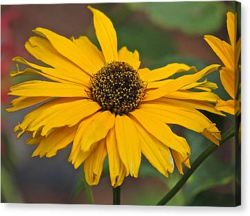 Canvas Print featuring the photograph Yellow Gerber Daisy by Eve Spring