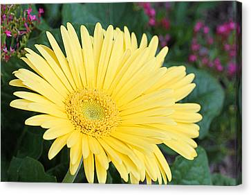 Yellow Gerbera Canvas Print by Becky Lodes