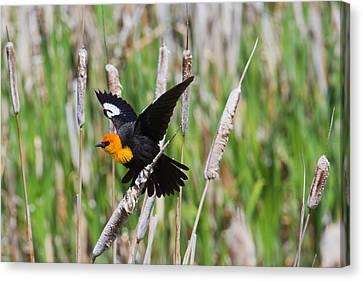 Yellow-headed Blackbird Ready For Take-off Canvas Print by Merle Ann Loman
