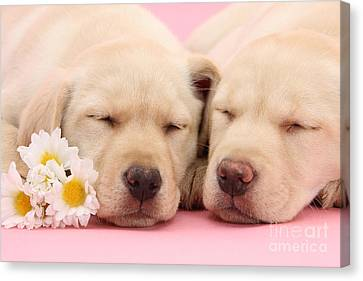 Yellow Labs Sleeping Canvas Print by Mark Taylor