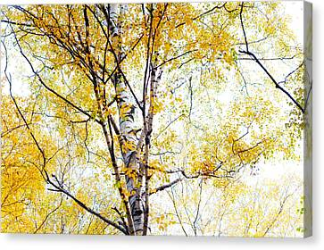Yellow Lace Of The Birch Foliage  Canvas Print by Jenny Rainbow
