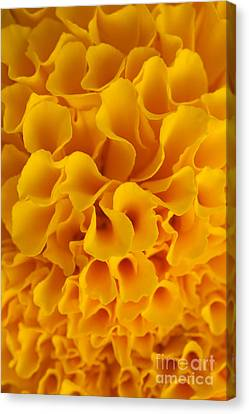 Yellow Marigold Macro View Canvas Print by Atiketta Sangasaeng