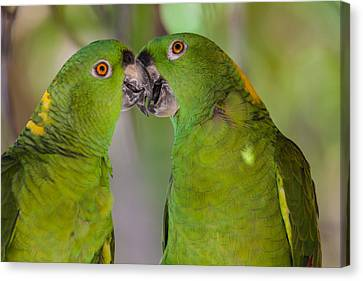 Yellow Naped Parrots Kissing Canvas Print by Craig Lapsley